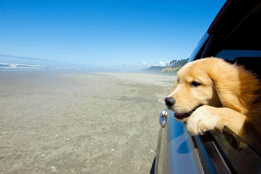 Labrador olhando o mar
