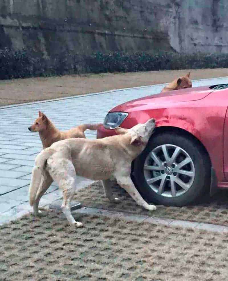 Cachorros destroem carro na China