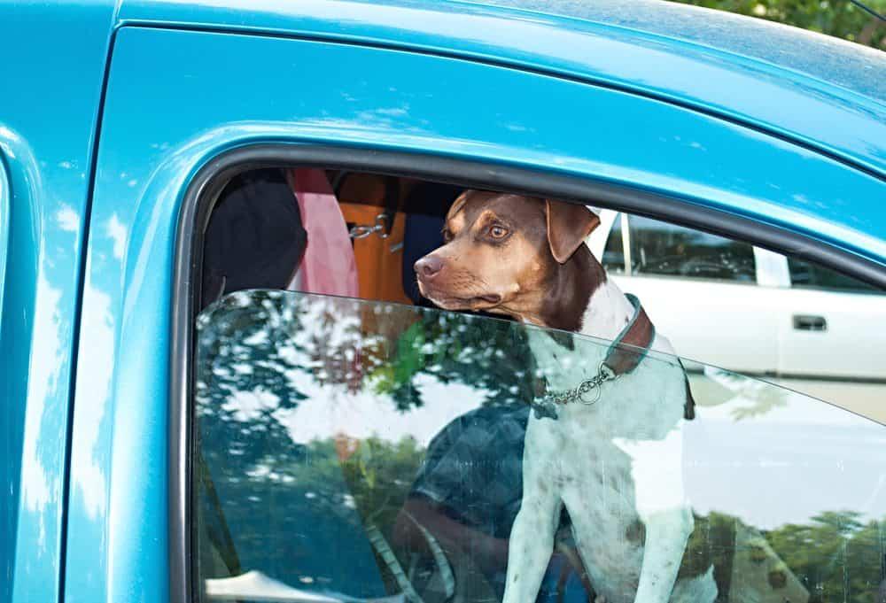 transporte de animal de estimação carro