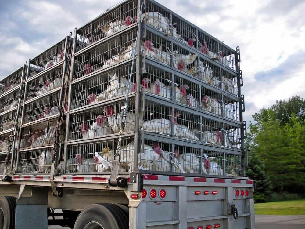 nova altura para transporte de animais vivos mudancas