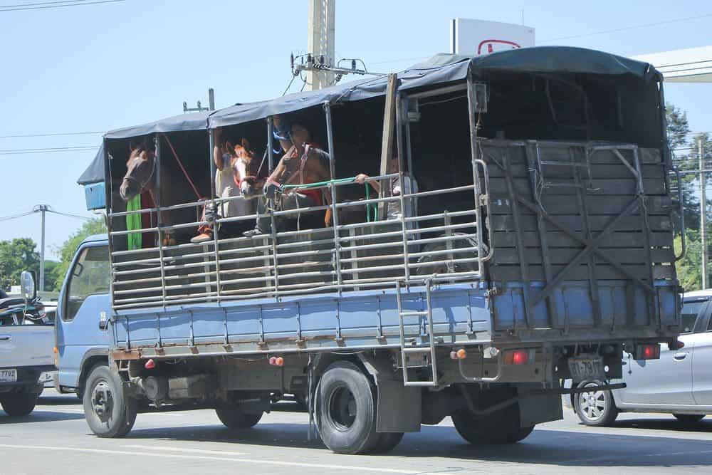 nova altura para transporte de animais vivos