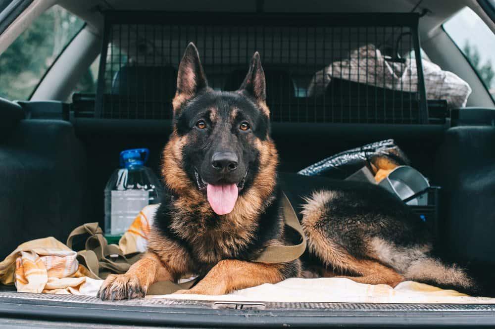 como transportar cachorro em viagem passos